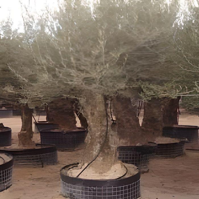 Olea europaea oliviers pot de 3 litres 80 achat vente plante pouss - Acheter olivier centenaire ...
