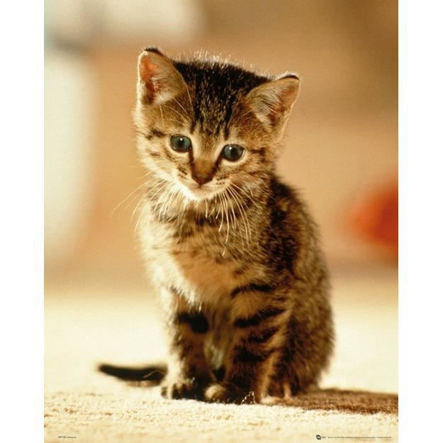 Poster chaton achat vente poster chaton pas cher les - Photos posters moins cher ...