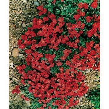 3 aubrietes royal rouge achat vente plante pouss e 3 for Achat plante