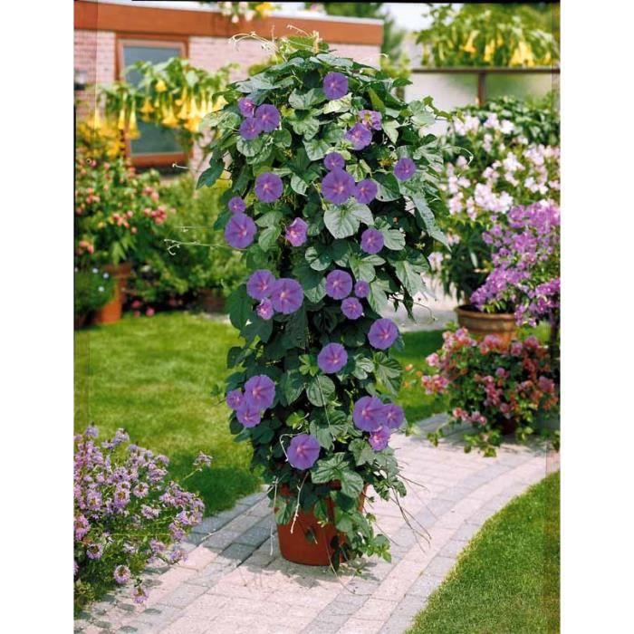 ipom e grandes fleurs achat vente plante pouss e ipom e grandes fleurs soldes d t. Black Bedroom Furniture Sets. Home Design Ideas