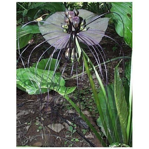 10 graines d 39 orchidee chauve souris black tiger rare achat vente graine semence 10. Black Bedroom Furniture Sets. Home Design Ideas