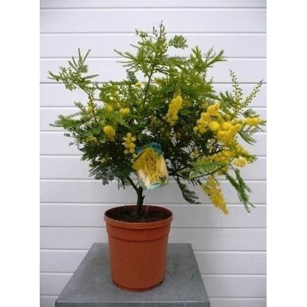 les concepteurs artistiques taille mimosa gaulois pot