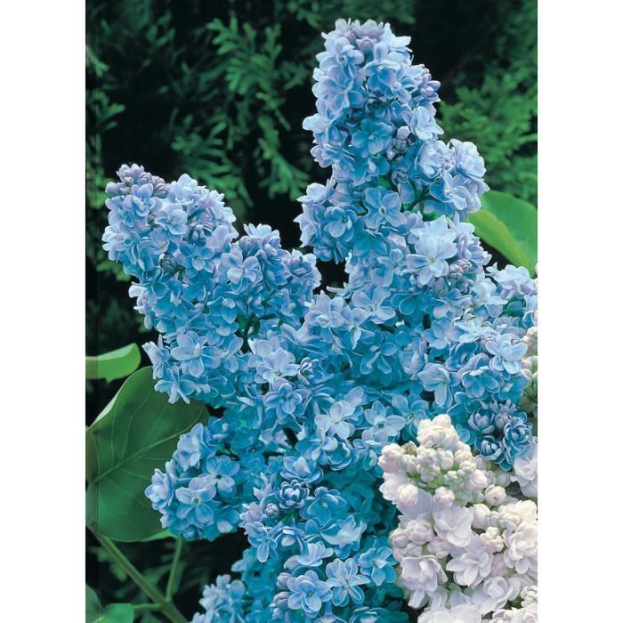 lilas double bleu achat vente arbre buisson lilas double bleu cdiscount. Black Bedroom Furniture Sets. Home Design Ideas