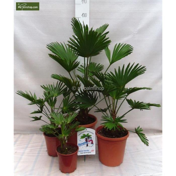 colis de trachycarpus wagnerianus 4 tailles diff rentes dans ce kit de d marrage achat. Black Bedroom Furniture Sets. Home Design Ideas