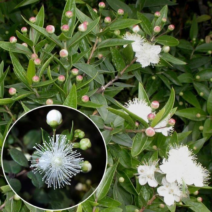 Myrtus chequen myrte du chili blanc parfum l achat for Myrte arbuste