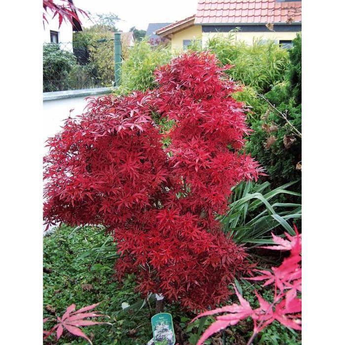 Erable japonais 39 shaina 39 achat vente arbre buisson for Arbre buisson pour jardin