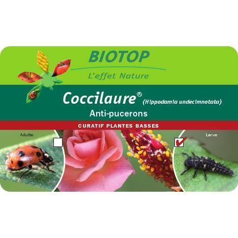 Bon pour 250 larves coccinelles coccilaure anti puceron. - Bon pour ...