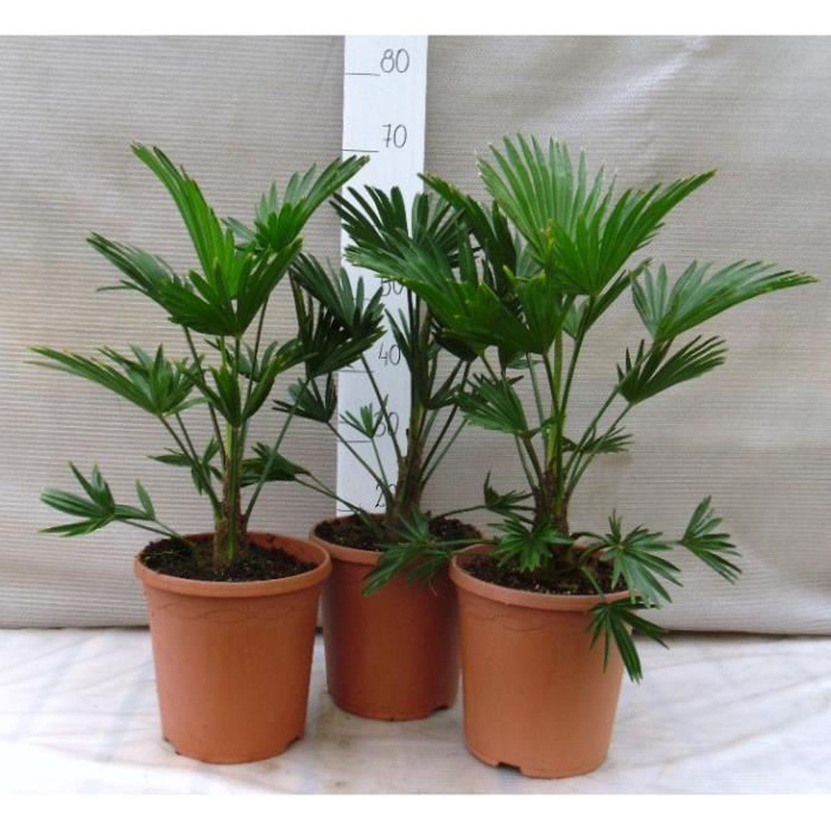 3 pi ces trachycarpus wagnerianus 60 80cm en 23cm pot achat vente arbre buisson 3 pi ces. Black Bedroom Furniture Sets. Home Design Ideas