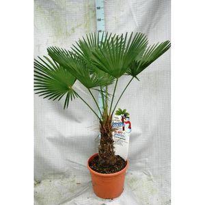 palmier trachycarpus fortunei achat vente palmier trachycarpus fortunei pas cher cdiscount. Black Bedroom Furniture Sets. Home Design Ideas