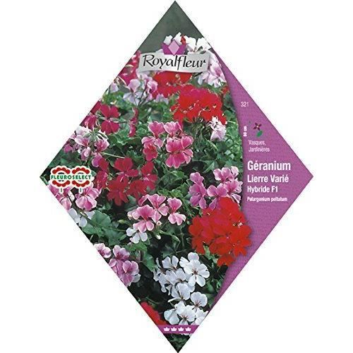 Royalfleur pfrv00321 graines de g ranium lierre varie - Graine de geranium ...