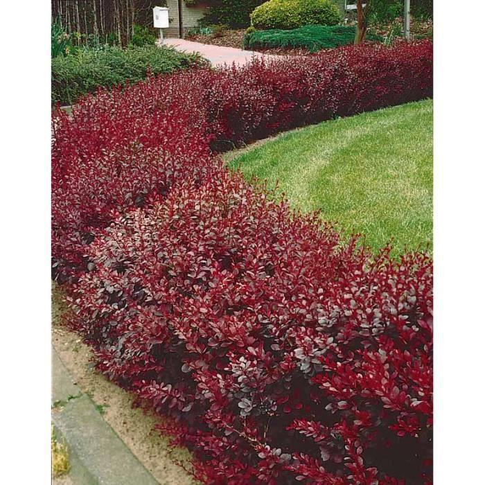 berberis rouge achat vente arbre buisson berberis rouge cdiscount. Black Bedroom Furniture Sets. Home Design Ideas