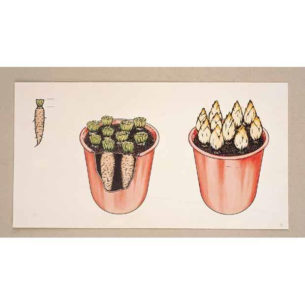 racines d 39 endives achat vente graine semence racines d 39 endives cdiscount. Black Bedroom Furniture Sets. Home Design Ideas