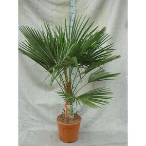 palmier de chine achat vente palmier de chine pas cher soldes cdiscount