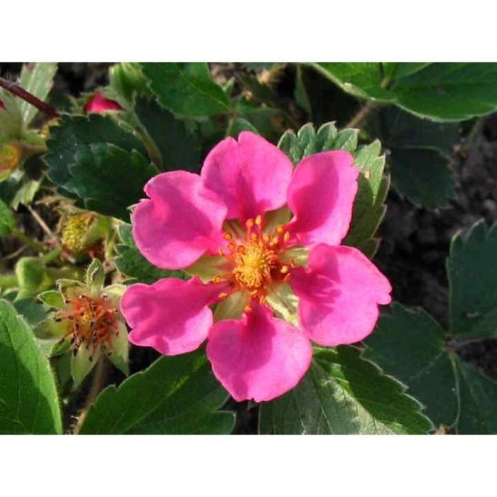 5 plants de fraisiers 39 toscana 39 fleurs roses excellente achat vente plante pouss e 5. Black Bedroom Furniture Sets. Home Design Ideas