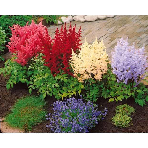 Offre sp ciale de 4 astilbes 1 rouge 1 blanch achat for Destockage plantes jardin