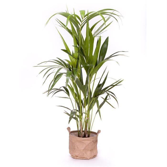 kentia 120 130cm achat vente plante pouss e kentia 120 130cm cdiscount. Black Bedroom Furniture Sets. Home Design Ideas