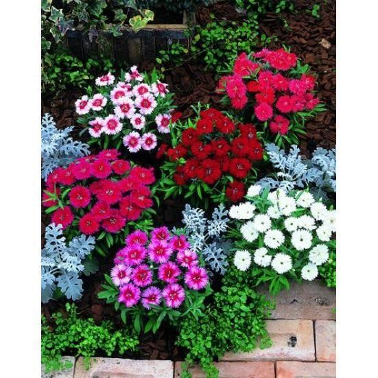 25 graines plante vivace oeillet de poete simple achat for Plante tapissante vivace