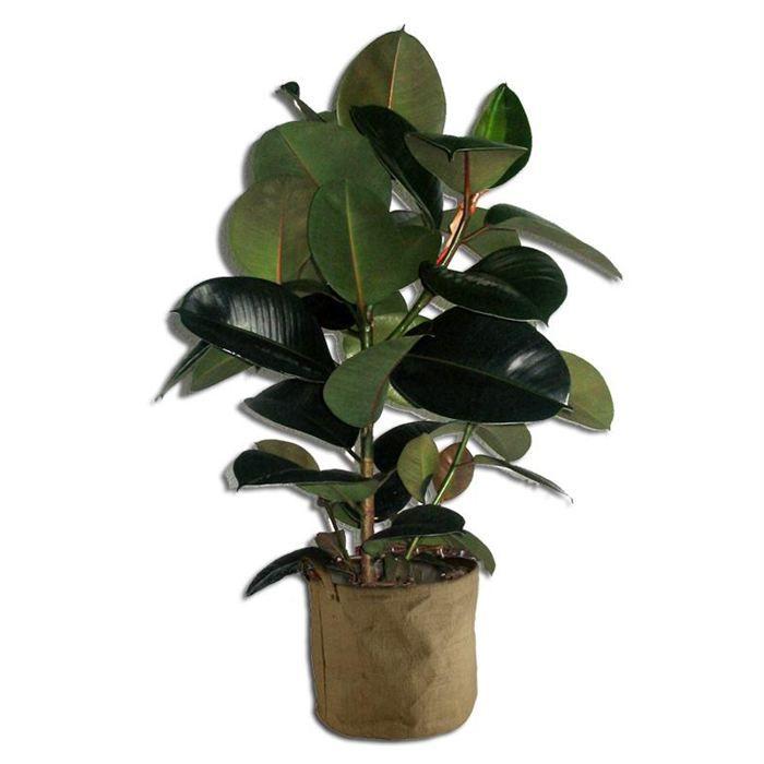 ficus robusta 40cm achat vente plante pouss e ficus robusta 40cm cdiscount. Black Bedroom Furniture Sets. Home Design Ideas