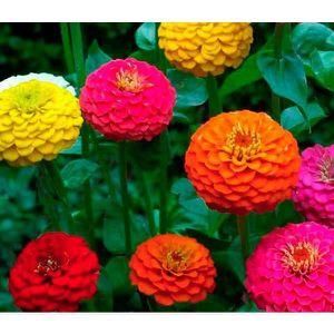 bulbes graines de fleurs achat vente bulbes graines de fleurs pas cher les soldes sur. Black Bedroom Furniture Sets. Home Design Ideas