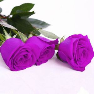 GRAINE - SEMENCE Vip2store® 100 Graines de Rose violette
