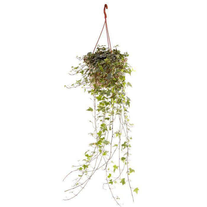 Lierre retombant panach achat vente plante pouss e for Soldes plantes