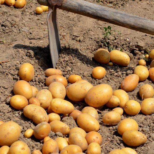 Plants de pommes de terre bio eden 25 plants achat vente bulbe plants de pommes de terre - Semer des pommes de terre ...