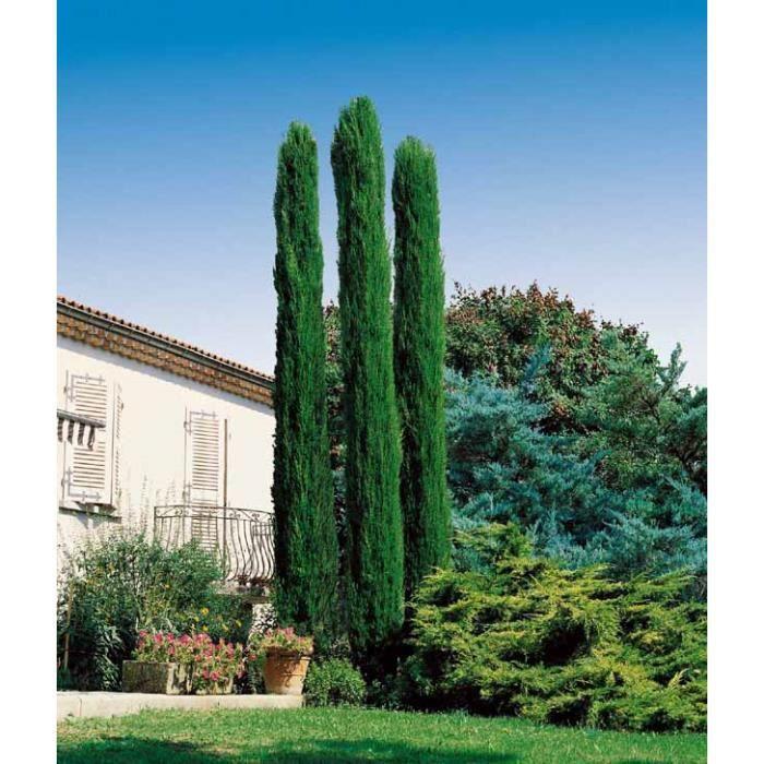 Cypr s d 39 italie achat vente arbre buisson cypr s d for Jardin d italie chateauroux