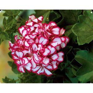 Geranium lierre achat vente geranium lierre pas cher cdiscount - Geranium lierre double retombant ...