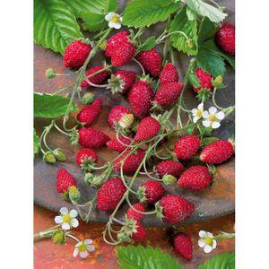 fraisier achat vente fraisier pas cher cdiscount. Black Bedroom Furniture Sets. Home Design Ideas