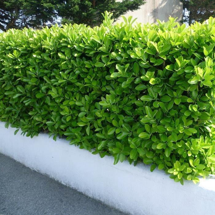 euonymus japonicus fusain du japon persistant vert achat vente arbre buisson euonymus. Black Bedroom Furniture Sets. Home Design Ideas