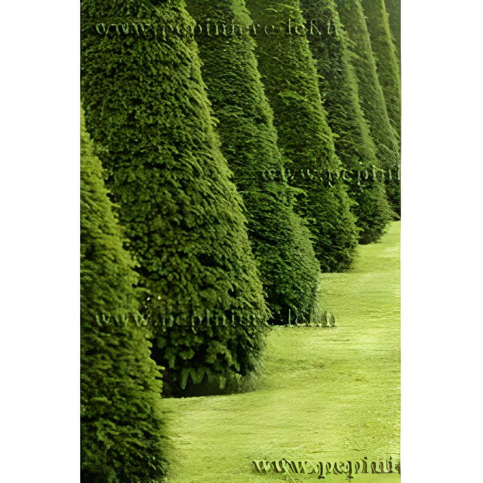 If taxus baccata haie arbuste persistant achat vente for Arbustes persistants pour haie