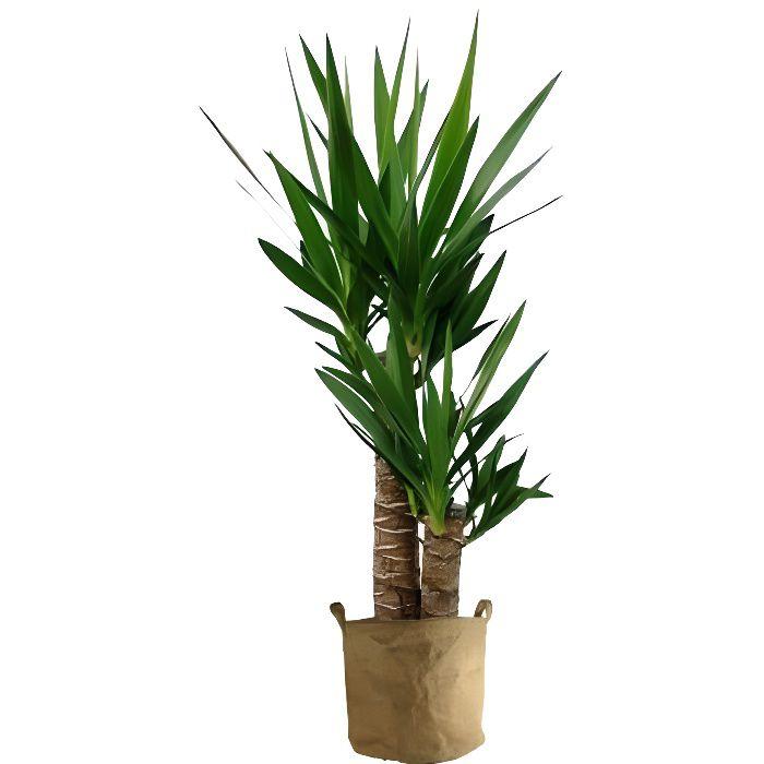 Yucca 70cm achat vente plante pouss e yucca 70cm for Achat plante pas cher