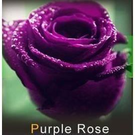 lot de 20 graine rose rosier mauve achat vente graine. Black Bedroom Furniture Sets. Home Design Ideas