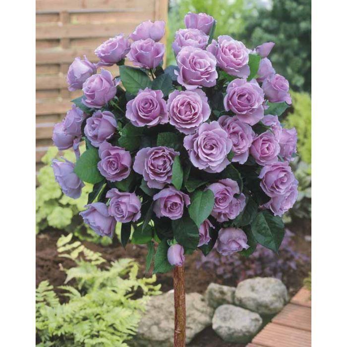 Mini-rosier sur tige à grosses fleurs violettes - Achat ...