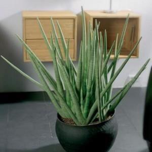 sansevieria cylindrica pot de 7 litres 50 7 achat vente plante pouss e sansevieria. Black Bedroom Furniture Sets. Home Design Ideas