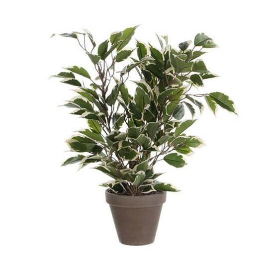 plante ficus achat vente plante ficus pas cher les soldes sur cdiscount cdiscount. Black Bedroom Furniture Sets. Home Design Ideas