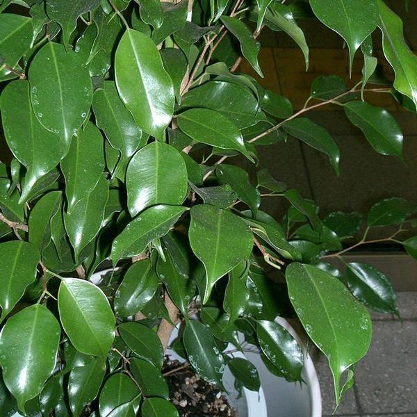 Ficus benjamina 20 graines achat vente graine for Ficus interior cuidados