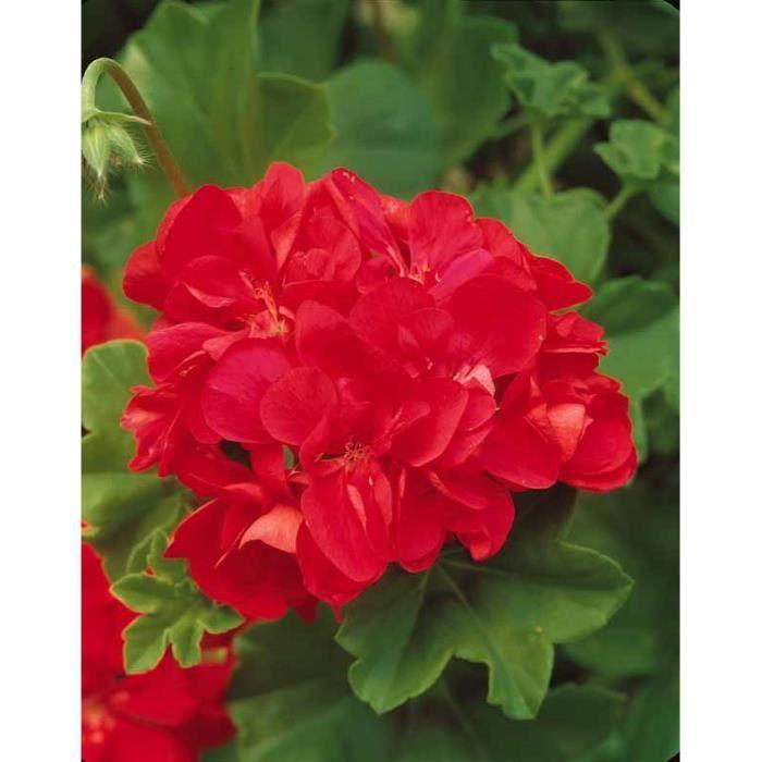 G ranium lierre fleurs doubles 39 sybilrouge 39 achat vente arbre buisson g ranium lierre - Geranium lierre double retombant ...