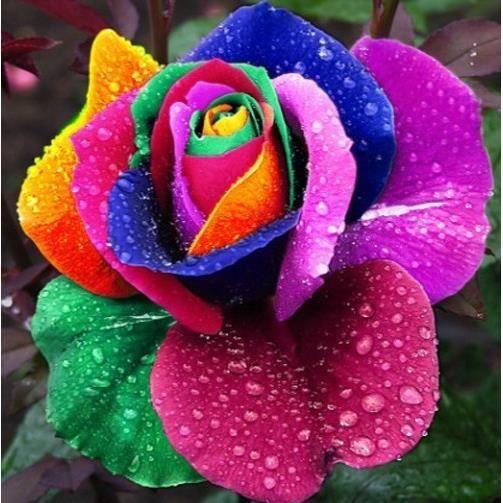 100 graines rare hollande rainbow rose fleur achat vente fleur artificielle soldes d. Black Bedroom Furniture Sets. Home Design Ideas