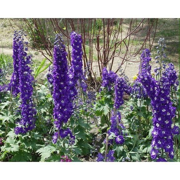 20 graines de plante vivace delphinium bleu achat vente graine semence 20 graines de. Black Bedroom Furniture Sets. Home Design Ideas