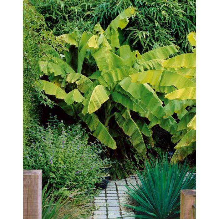 bananier d 39 ornement achat vente arbre buisson bananier d 39 ornement cdiscount. Black Bedroom Furniture Sets. Home Design Ideas