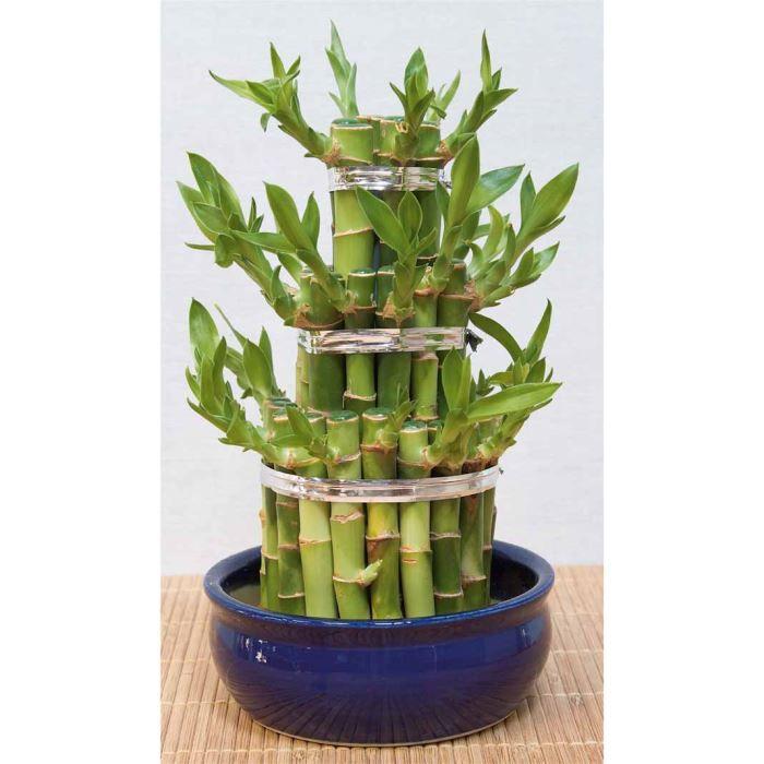 Lucky bambou achat vente plante pouss e lucky for Achat plante