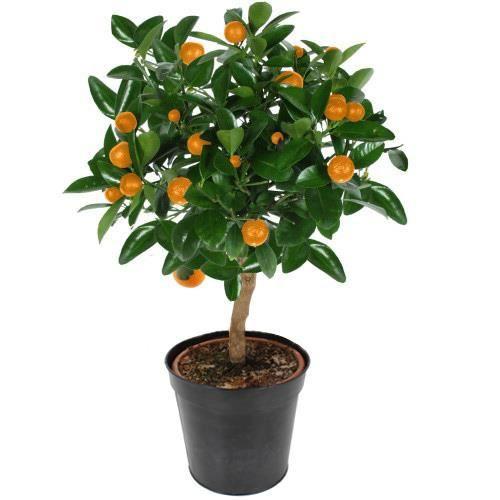 Oranger tige 60 cm citrus sinensis achat vente plante for Ou acheter plantes pas cher