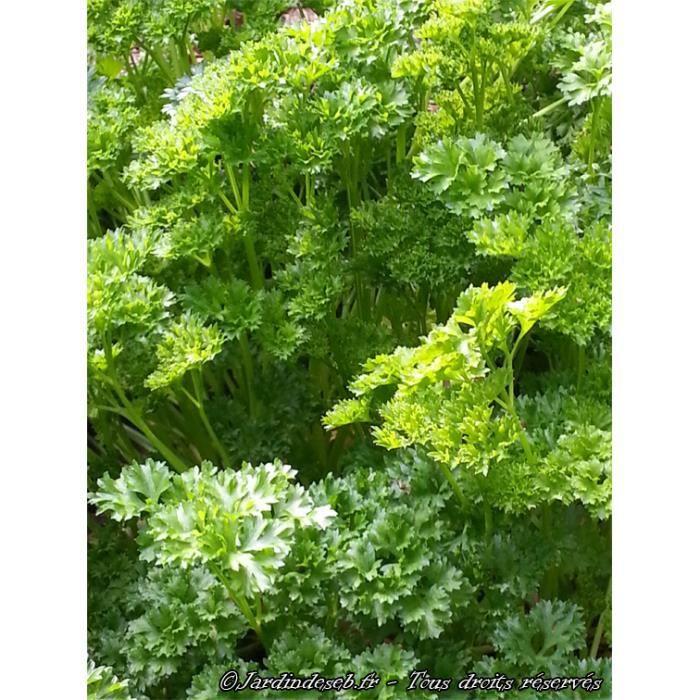 300 graines de persil fris vert fonc achat vente - Graine de persil ...