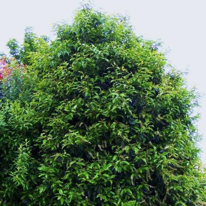 prunus lusitanica laurier du portugal prunier des a ores en pot achat vente arbre. Black Bedroom Furniture Sets. Home Design Ideas
