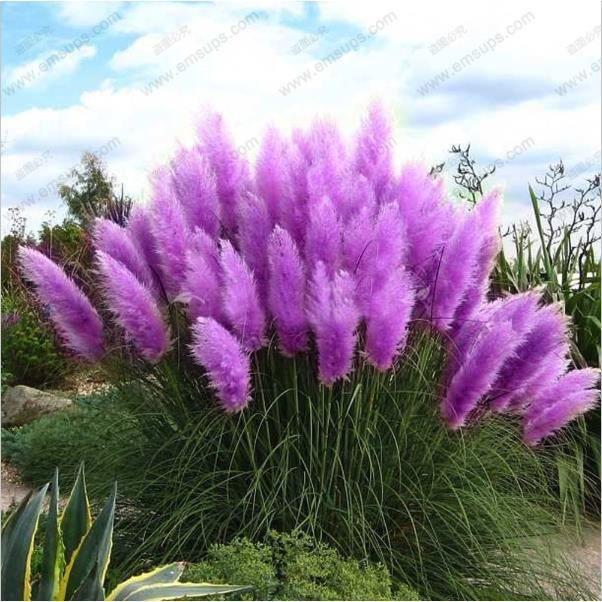 500 graines violettes herbe des pampas plumeau semence - Fleur de pampa ...