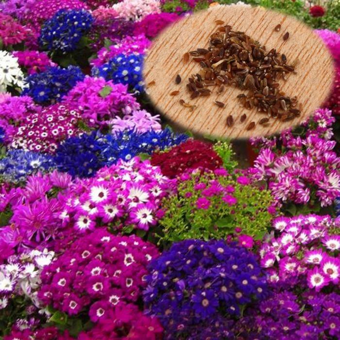 30pcs graines de fleur cin raire rare d coration de jardin for Graine de jardin