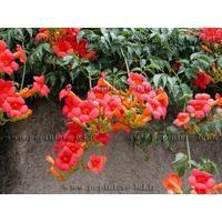 bignone rouge grimpante trompette de virginie achat vente arbre buisson bignone rouge. Black Bedroom Furniture Sets. Home Design Ideas