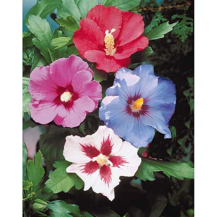 5 hibiscus de jardin achat vente arbre buisson 5. Black Bedroom Furniture Sets. Home Design Ideas
