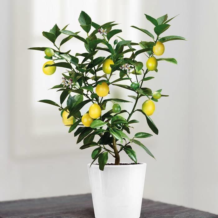graines citron citronnier bansai petit arbre lot de 5 graines achat vente graine semence. Black Bedroom Furniture Sets. Home Design Ideas